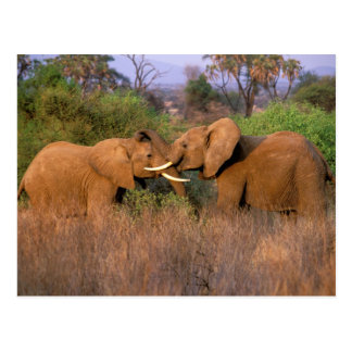 Africa, Kenya, Samburu. Elephant challenge Postcard
