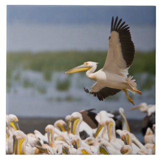 Africa. Kenya. White Pelicans on the shore of Tile