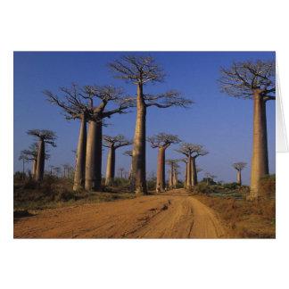 Africa, Madagascar, Morondava, Baobab Avenue. Card