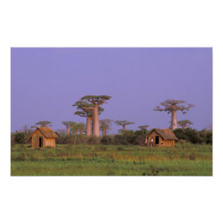 Africa, Madagascar, Morondava. Baobabs Poster