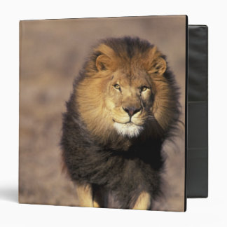 Africa. Male African Lion Panthera leo) 3 Ring Binder