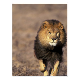 Africa. Male African Lion Panthera leo) Postcard