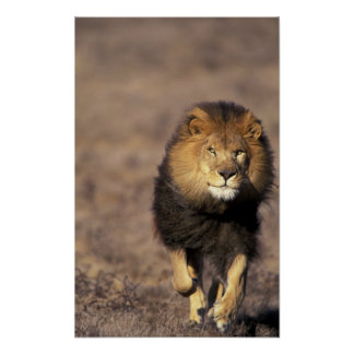 Africa. Male African Lion Panthera leo) Poster
