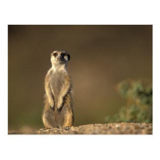 Africa, Namibia, Keetmanshoop, Meerkat (Suricate Postcard