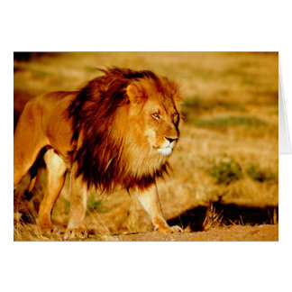 Africa, Namibia, Okonjima. Lone male lion. Card