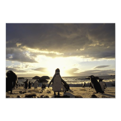 Africa, South Africa Black-footed penguins Art Photo