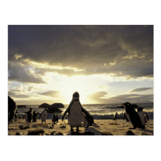 Africa, South Africa Black-footed penguins Postcard