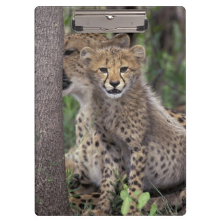 Africa, South Africa, Phinda Preserve. Cheetah Clipboard