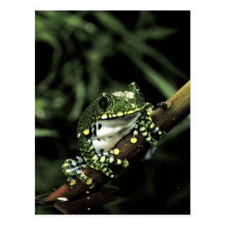Africa, Tanzania. African big eye tree frog Postcard