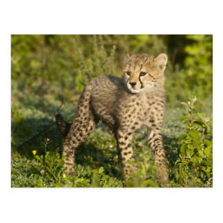 Africa. Tanzania. Cheetah cub at Ndutu in the Postcard