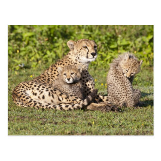 Africa. Tanzania. Cheetah mother and cubs 2 Postcard