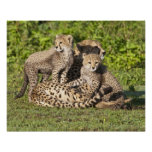 Africa. Tanzania. Cheetah mother and cubs Poster