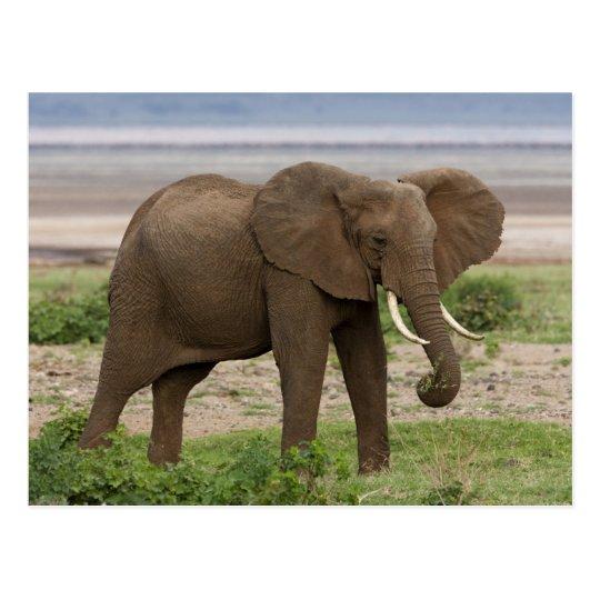 Africa. Tanzania. Elephant at Lake Manyara NP. Postcard