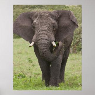 Africa. Tanzania. Elephant at Ngorongoro Crater, Poster