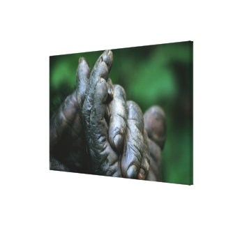 AFRICA, Tanzania, Gombe Nat'l Park, Male Stretched Canvas Prints