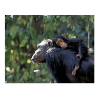 AFRICA, Tanzania, Gombe NP, Chimpanzees.  Female Postcard