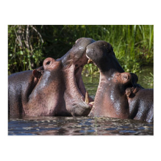 Africa. Tanzania. Hippopotamus sparring at the Postcard