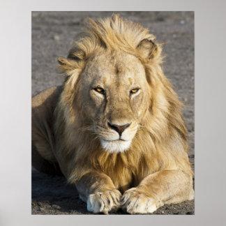 Africa. Tanzania. Male Lion at Ndutu in the Poster