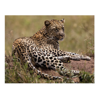 Africa, Tanzania, Serengeti. Leopard Postcard