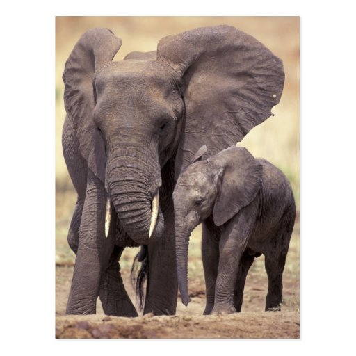 Africa, Tanzania, Tarangire National Park. 2 Post Card