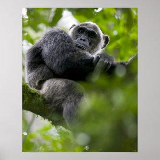 Africa, Uganda, Kibale Forest Reserve, Portrait 2 Poster