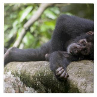 Africa, Uganda, Kibale Forest Reserve, Young Tiles