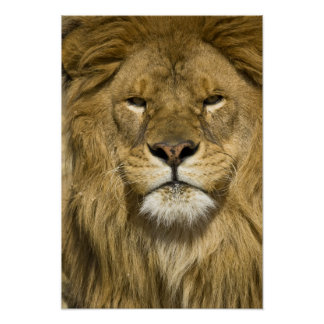 African Barbary Lion, Panthera leo leo, one of Poster