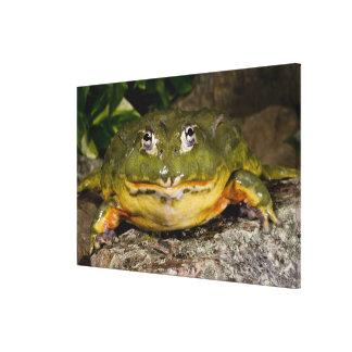 African Burrowing Bullfrog, Pyxicephalus 2 Canvas Print