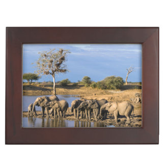 African Bush Elephant (Loxodonta Africana) Herd Memory Boxes