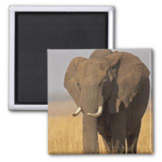 African Bush Elephant Loxodonta africana) on Square Magnet