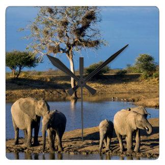 African Bush Elephants (Loxodonta Africana) Clock