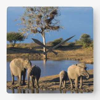 African Bush Elephants (Loxodonta Africana) Square Wall Clock