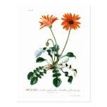 African Daisy Post Card