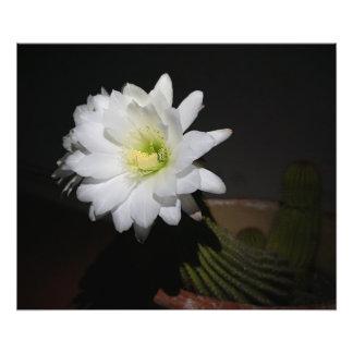 African echinacea cacti bloom. photo print