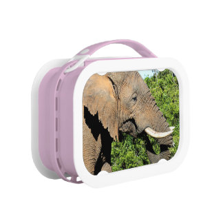 African Elephant eating Lunch Boxes