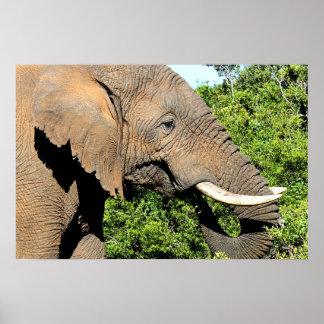 African Elephant eating Print