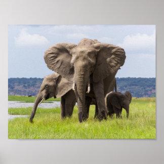 African Elephant Family, Botswana, Poster
