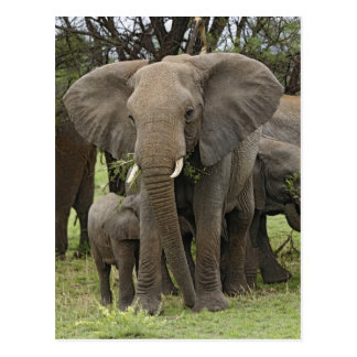 African Elephant herd, Loxodonta africana, Postcard