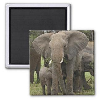 African Elephant herd, Loxodonta africana, Square Magnet