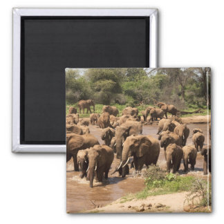 African Elephant, Loxodonta africana, crossing Square Magnet