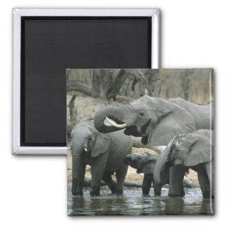African Elephant, (Loxodonta africana), drinking Square Magnet