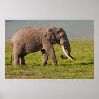 African Elephant, Ngorongoro Conservation Area Posters