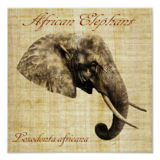 African elephant (no frame) poster