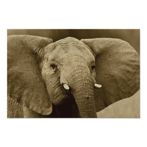 African Elephant poster, print, picture, image