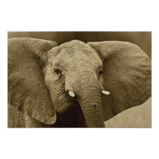 African Elephant poster, print, picture, image Poster