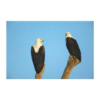 African Fish Eagle (Haliaeetus Vocifer) Canvas Prints