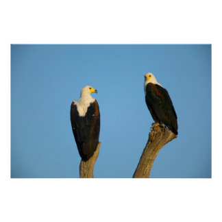 African Fish Eagle (Haliaeetus Vocifer) Poster