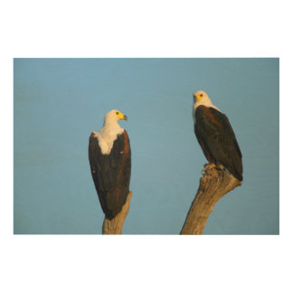 African Fish Eagle (Haliaeetus Vocifer) Wood Prints