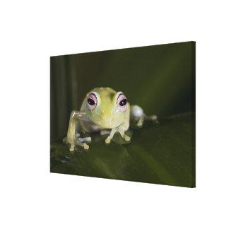 African Glass Frog, Hyperolius viridiflavus, Canvas Print