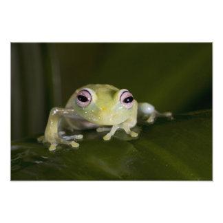 African Glass Frog, Hyperolius viridiflavus, Photographic Print